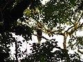 Bird Great Hornbill Buceros bicornis IMG 8659 22.jpg