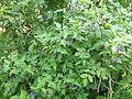 Bittersweet Solanum dulcamara Big Waters 2.jpg