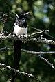 Black-billed magpie (3306554838).jpg