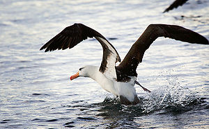 Life in the Freezer - The diet of the black-browed albatross is about 40% krill.