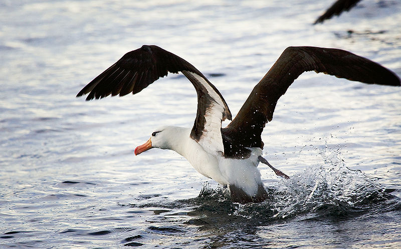 File:Black-browed Albatross, Beagle Channel.jpg