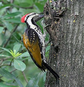 Black-rumped Flameback- looking for food I IMG 7425.jpg