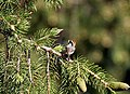 Black-throated Tit on Picea smithiana I IMG 6786.jpg