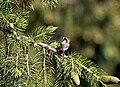 Black-throated Tit on Picea smithiana I IMG 6786.jpg