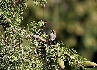 Black-throated bushtit - Image: Black throated Tit on Picea smithiana I IMG 6786
