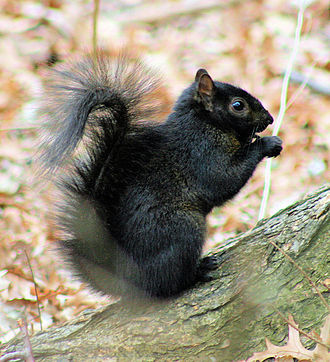 Black squirrel - Image: Black Squirrel