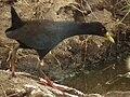 Black crake in Tanzania 3104 cropped Nevit.jpg
