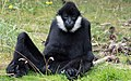 Black mammal sitting (42451438305).jpg
