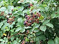 Blackberries, Fovant Down - geograph.org.uk - 1452011.jpg