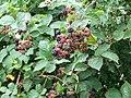 Blackberries, Fovant Down - geograph.org.uk - 1452011.jpg