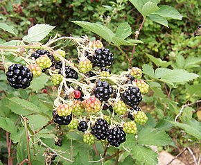 Description de l'image Blackberry fruits10.jpg.