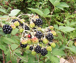 Blackberries are a source of polyphenol antiox...