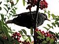 Blackbird, Bystrc 31.JPG
