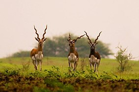Blackbucks ranebennur.jpg