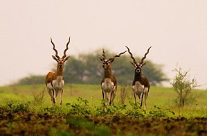 Ranebennuru -  Blackbuck Sanctuary