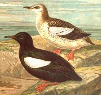 Auk - Black guillemot (Cepphus grylle, a true guillemot) in summer (front) and winter plumage