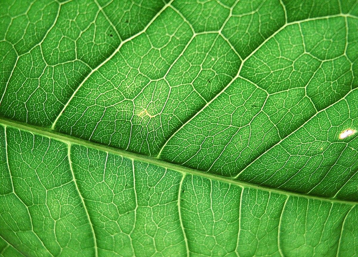 Фотосинтез — Википедия