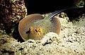 Blaupunktrochen im Roten Meer.jpg