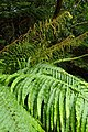 Blechnum novae-zelandiae kz20.jpg