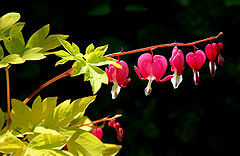 Loreak (Bleeding hearts)