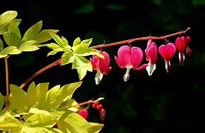 Bleeding hearts, Flickr awards.jpg