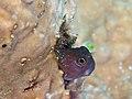 Bleniidae sp. (42825404294).jpg