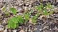 Bloodroot (Sanguinaria canadensis) - Montreal, Quebec 2019-05-11.jpg