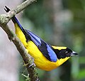 Blue-winged Mountain-Tanager JCB.jpg