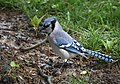 Blue Jay gathering nesting material (32863042847).jpg