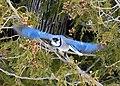 Blue Jay in flight on Drummond Island.jpg