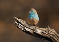 Blue Waxbill, Uraeginthus angolensis, at Pilanesberg National Park, Limpopo Province, South Africa (29473255540).jpg