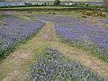 Bluebells Rannerdale - geograph.org.uk - 1549511.jpg