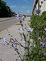 Bluefield-WV-chicory.jpg