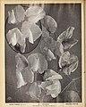 Boddington's quality bulbs, seeds and plants (15746316839).jpg