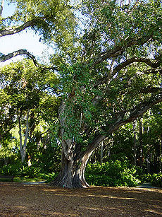 Bodhi tree foster botanical gardens hawaii.jpg