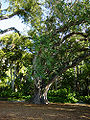 Bodhi tree foster botanical gardens hawaii.jpg