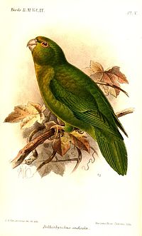 BolborhynchusAndicolaKeulemans