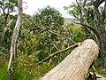 Boomstam Tussen Ballarat en Little Dessert D1000067.jpg