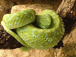 Bothriechis bicolor.jpg