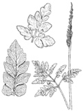 Botrychium oneidense drawing.png