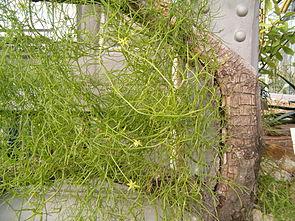 Bowiea volubilis, Habitus und Blüten, rechts ist die grüne Knolle.