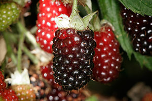 Boysenberry - Boysenberries in various stages of development