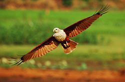 Brahminy kite flight.jpg