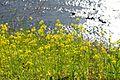 Brassica napus (Japanese rapeseed) - Flickr - odako1.jpg