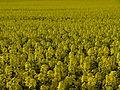 Brassica napus near Birklar 01.JPG