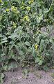 Brassica napus plant, koolzaad (2).jpg