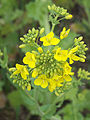 Brassica rapa subsp. oleifera, bladkool (1).jpg