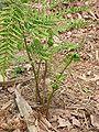 Brede stekelvaren jonge bladeren (Dryopteris dilatata).jpg