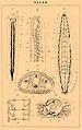 Brockhaus and Efron Encyclopedic Dictionary b76 520-1.jpg