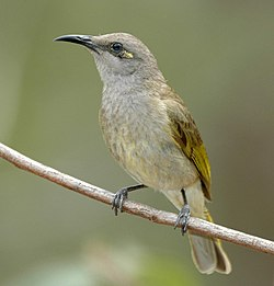 Brown Honeyeater kobble sep05.jpg